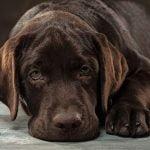 ¿Qué es la filariosis canina?