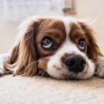 ¿A qué se deben las manchas en el lagrimal de los perros?