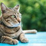 ¿Qué es la bolsa o saco primordial en gatos?
