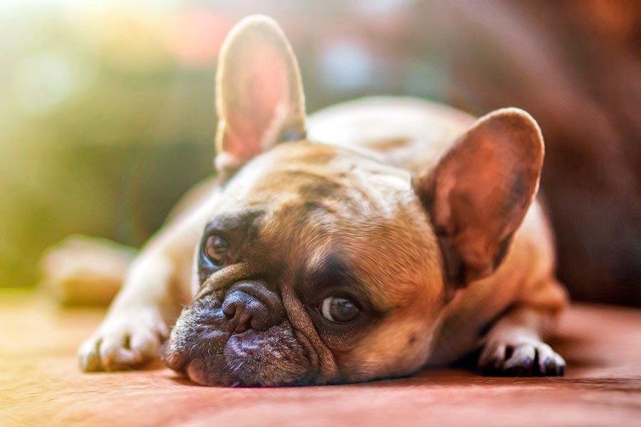 diabetes en perros de Albacete | Veterinario Argo