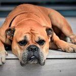 ¿Qué hacer si detectamos un bulto en un perro?