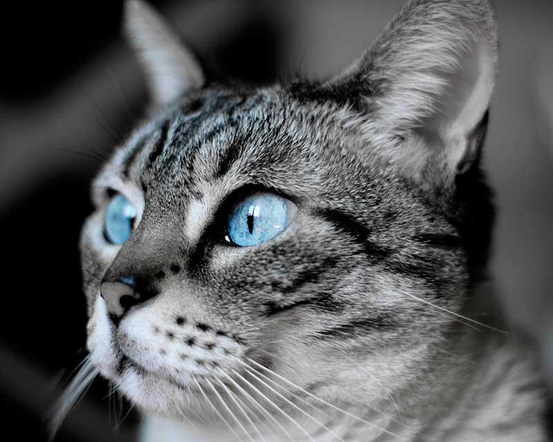 color de ojos de los gatos