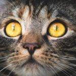 ¿Qué sabemos sobre el color de los ojos de los gatos?