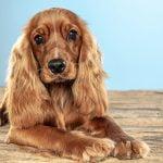 ¿Qué tipos de pelo de perro existen?
